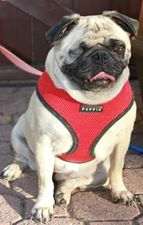 Gigi her Red Soft Puppia Harness that was purchased from a Pug Rescue Fundraiser Event from Paw Imprints & Gifts @ www.puppiaharness.ca