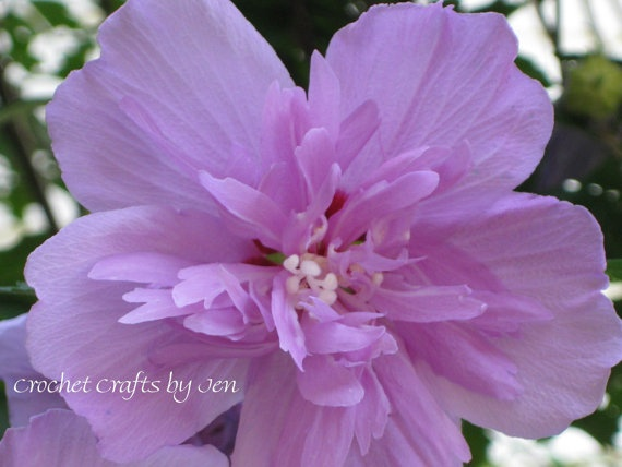 how to grow rose of sharon from seed
