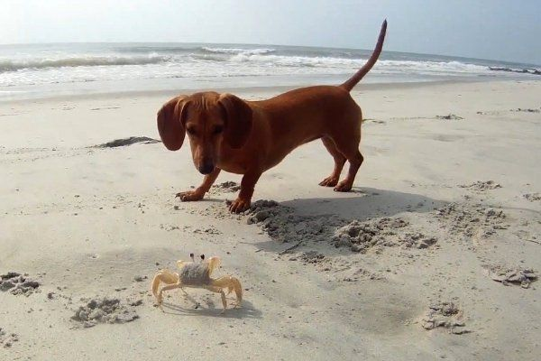 Playful Pup Meets Crab on Beach :)  See original cute #CustomGifts for #Dog Lovers from #BZFingers => https://www.etsy.com/shop/BZfingers?section_id=11027058&ref=shopsection_leftnav_3