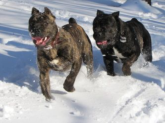Photo Gallery - Casanova Cane Corso: Temperament, Health & Conformation