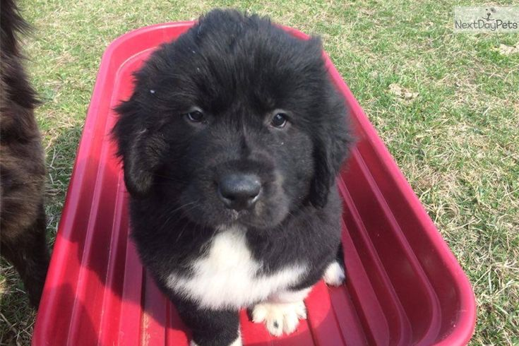 Newfie Dogs For Sale Bc