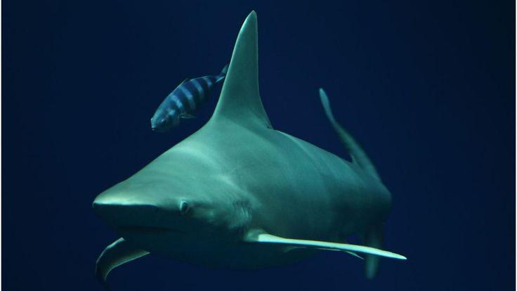 Sandbar shark © Monterey Bay Aquarium