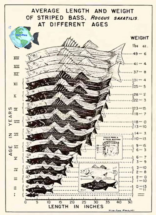 Mels striped bass growth rate chart walls for Fish weight by length chart