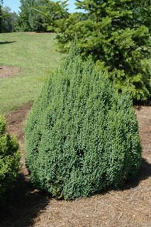 Kigi Nursery - Juniperus squamata ' Loderi ' Dwarf Flaky Bark Juniper, $15.00 (http://www.kiginursery.com/dwarf-miniatures/juniperus-squamata-loderi-dwarf-flaky-bark-juniper/)