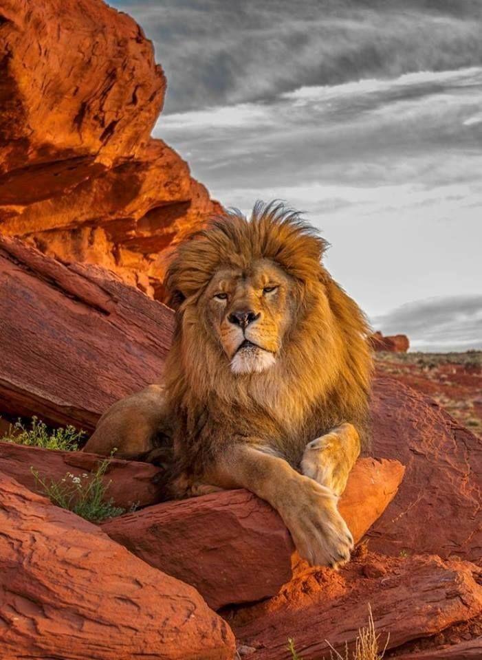 Maned Lion