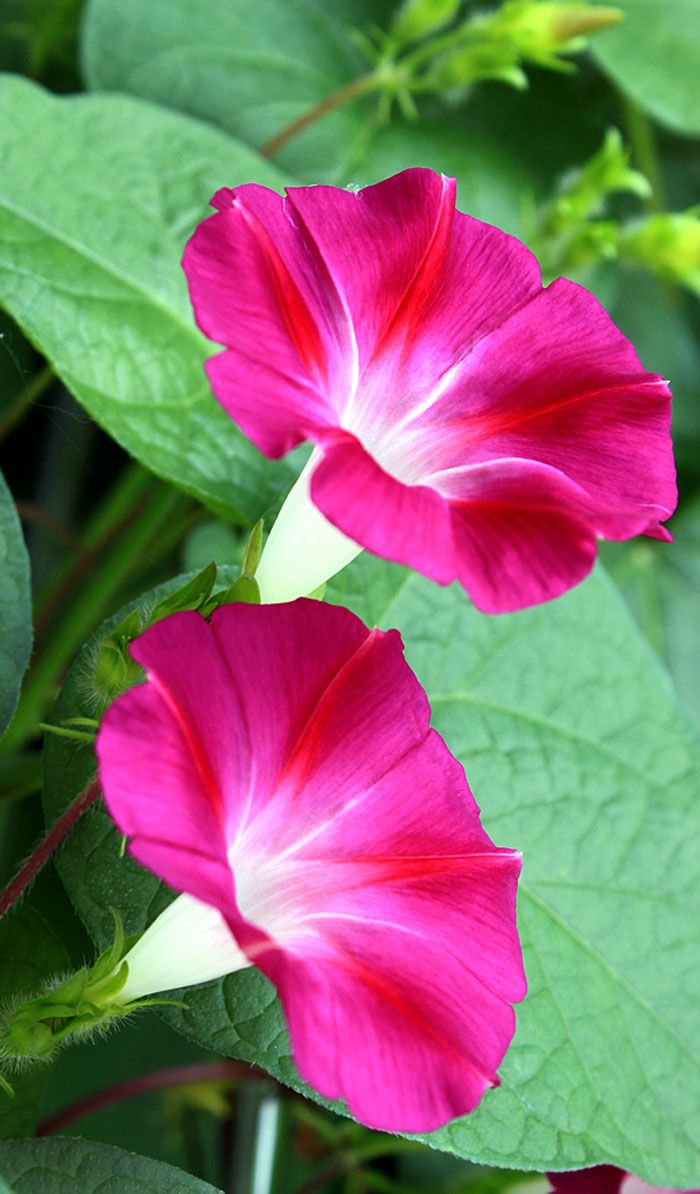 How To Grow Morning Glory Growing Morning Glory In A Container Naturebring In 2020 Morning Glory Flowers Container Flowers Morning Glory Vine