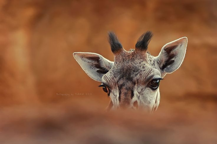 Tumai, African word that means 'life expectancy', is a giraffe baby, male of five months old. This breeding is a copy of genetically pure Baringo giraffe subspecies (Rothschild's Giraffe).