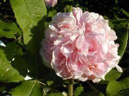 Resultado de imagen para rosa de jerico arbol