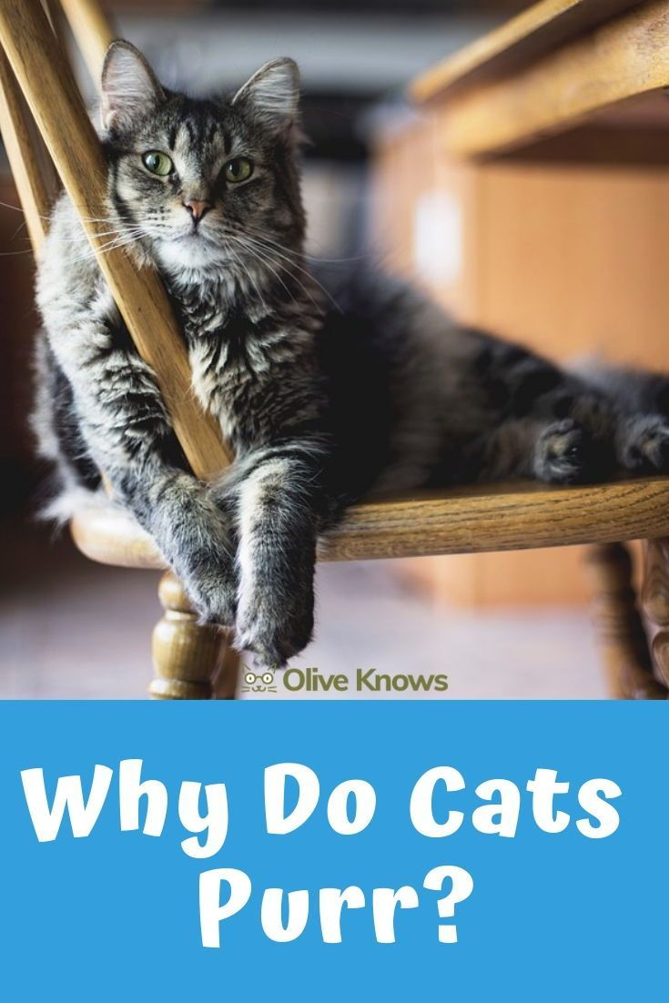 Why Do Cats Purr Oliveknows Why Do Cats Purr Cat Purr Cat Parenting