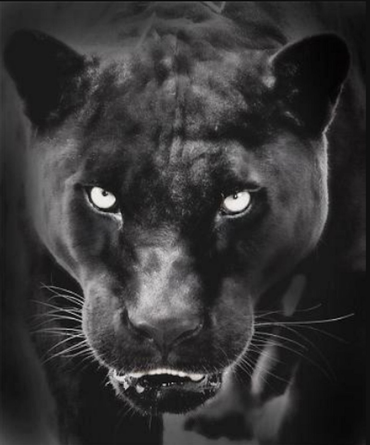 103 best images about Black panther on Pinterest   Cats, Big cats ...