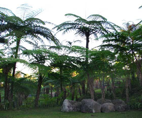 Helechos Arborescentes - Por su gran capacidad de desarrollo y tamaño toman el aspecto de árboles, aunque cabría matizar que su aspecto se asemeja mucho más al de las palmeras.