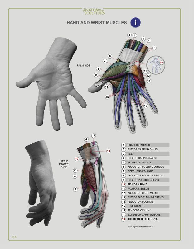 28 best Anatomy for Sculprtors images on Pinterest | Anatomy ...