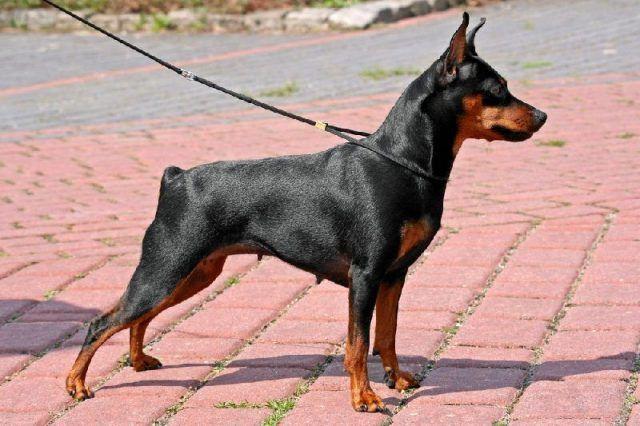 8. Miniature Pinscher Miniature Pinscher juga anjing kecil yang berasal dari Jerman, anjing ini memiliki bobot tubuh hanya 4 hingga 5 kg untuk anjing Miniature Pinscher jantan, sadangkan untuk anjing Miniature Pinscher betina beratnya hanya 3,5 hingga 4 kg.  Tinggi dari anjing Miniature Pinscher ini berkisar antara 25 cm hingga 30 cm untuk yang jantan dan untuk anjing Miniature Pinscher yang betina berkisar antara 25 hingga 28 cm.  Selain suka bermain, anjing dari Jerman ini juga sangat…