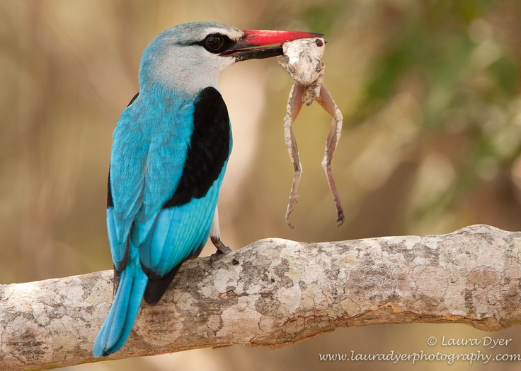 Kingfisher Kill by Laura Dyer, via 500px