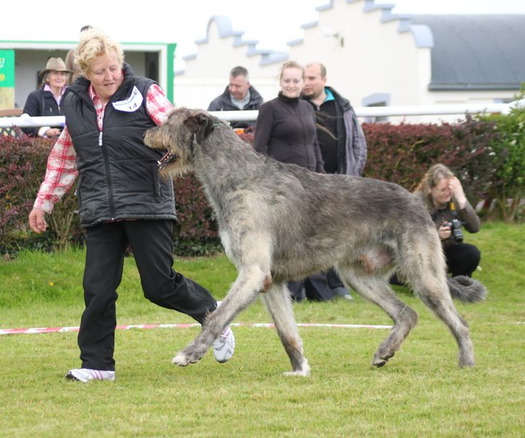 Get The Irish Wolfhound reviews from real people who own an Irish Wolfhound breed. Find pros and cons of The Irish Wolfhound.