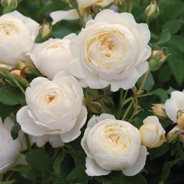 CLAIRE AUSTIN   English Rose - bred by David Austin  Shrub Rose  Bears large, cupped, creamy white blooms with a strong fragrance of myrrh, meadowsweet and vanilla. Vigorous and particularly healthy with elegant arching growth.  Good for disease resistance  Repeat Flowering  Highly Fragrant