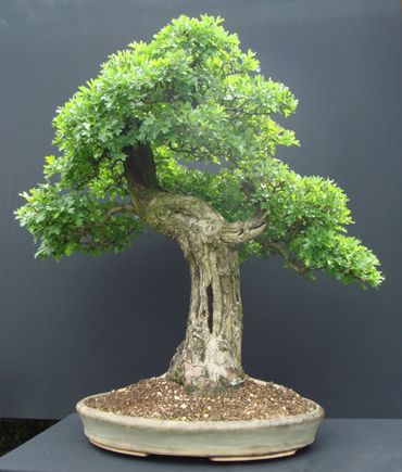 Hawthorn (Crataegus monogyna) Height: 94 cm, 37.01 inches pretty sure this is from a small nursery in west Sussex. ...