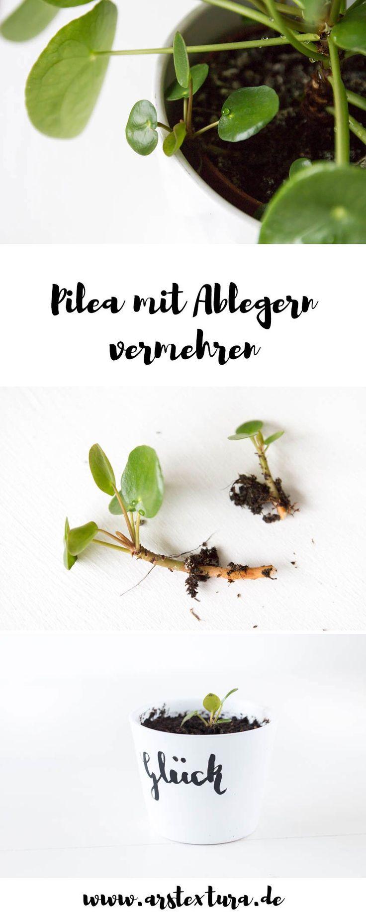 Pilea - Ufopflanze mit Ablegern vermehren