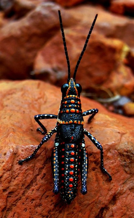 After I saw this bug, the Aboriginal Australian paints make much more sense.