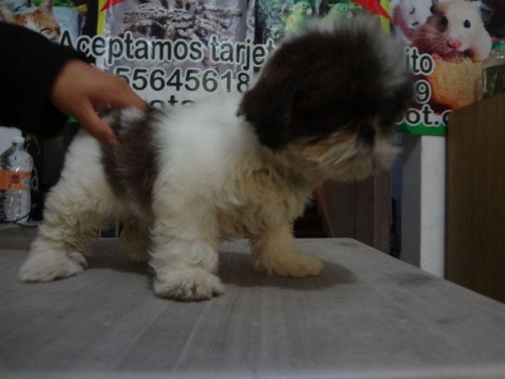 HERMOSA CACHORRITA SHIT ZHU. Hermosa cachorrita shitzu de 2 meses de edad, color café con blanco, se entrega con una vacuna y una desparasitación, con garantía de 15 días en enfermedad viral o bacteriana y un mes de consulta con nosotros.