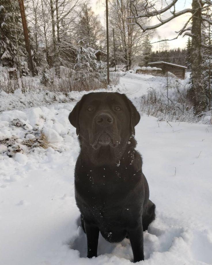 #smuffe-eppu is our new #familymember. #outdoorsfinland #labradors #korpelantorppa #dog #snow