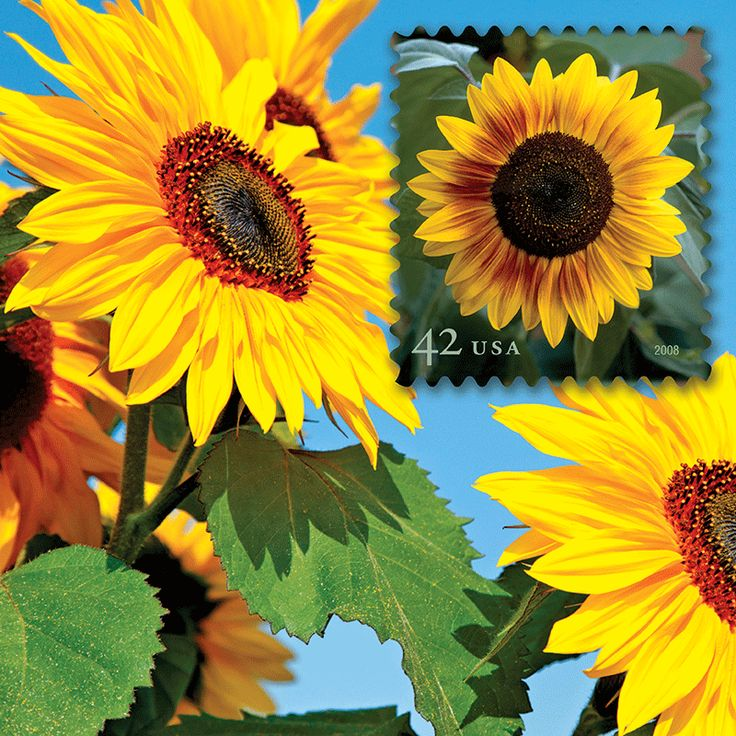 "Set beautiful ""Sun Flowers"" as your computers wallpaper image. See this and the many other stamp fun wallpapers available from the American Philatelic Society (www.stamps.org)"