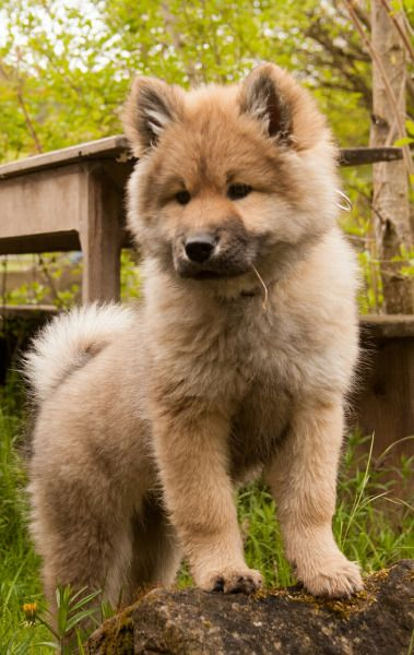 Eurasier dogs are the best! ♡