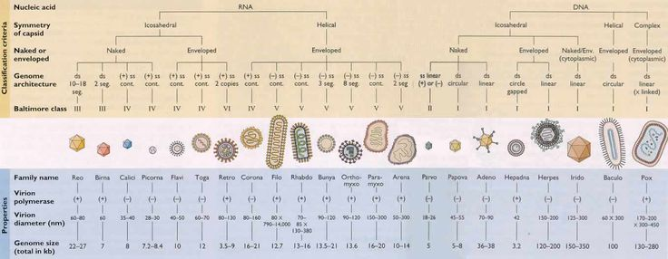 Virus Classification Chart | Nature of the nucleic acid: RNA or DNA Symmetry of the capsid Presence ...