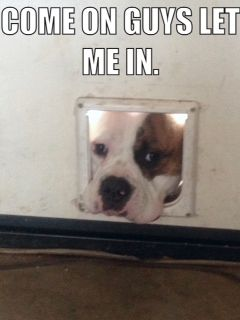 All the time. American Bulldog. Cali girl 12 months 2013