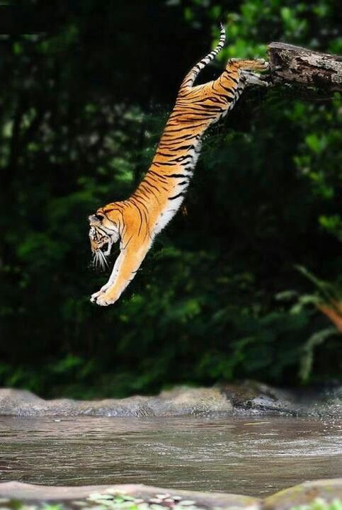 Crazy Tiger going for a swim.                                                                                                                                                     More