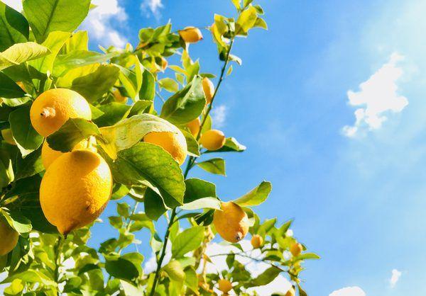 How Long Does A Lemon Tree Take To Produce Fruit Lemon Tree