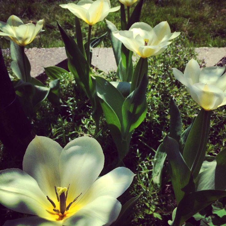 Tulpanen 'Purissima' som sticker upp ur vårfloxen