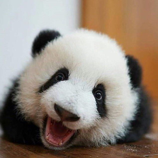 "159 Likes, 1 Comments - Save The Pandas (@savegiantpandas) on Instagram: ""#panda #pandabear #ilovepandas #bear #animal #fluffy #pandalove #pandalover #iampanda #babypanda…"""