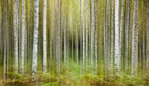 Autumn in the birch forest by Antti-Jussi Rantala