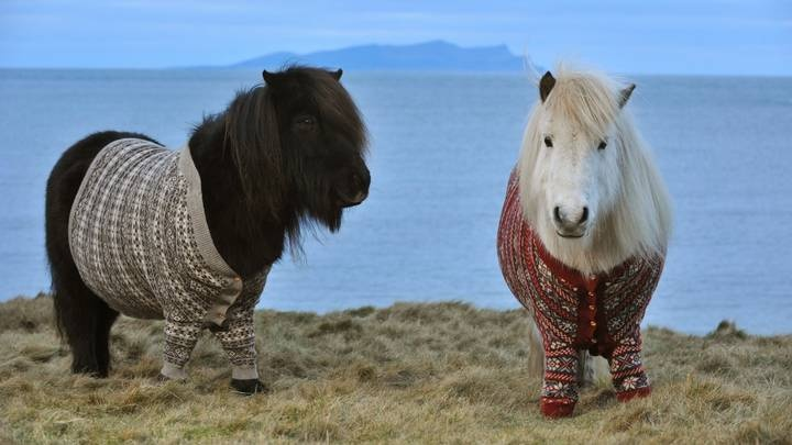 Fivla and Vitamin - the sweater wearing Shetlands