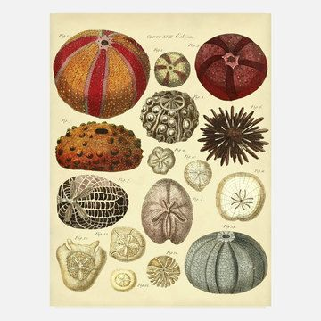 Colorful Sea Urchins 12x16, now featured on Fab.: Adams Ale, Digital 21 24, 21 24 Retail, Sea, 21 Adams, Beach, 100