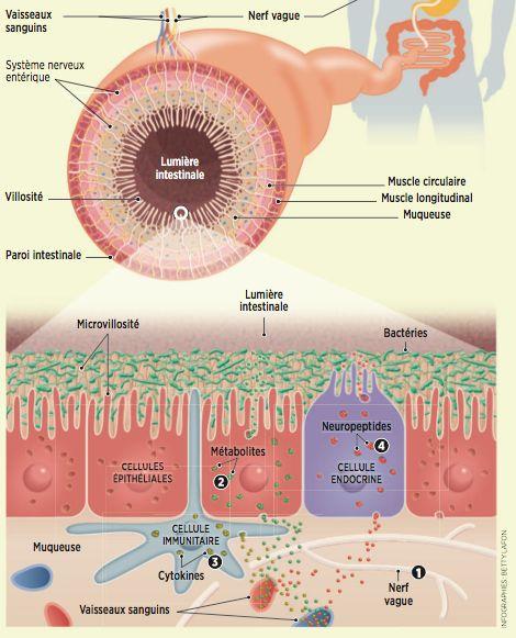 Les bactéries intestinales sont susceptibles d'envoyer des signaux au cerveau par différentes voies et ainsi de l'influencer. Si bien que le microbiote participerait aux maladies psychiatriques.