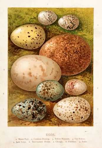 Eggs. Water Rail, Common Bunting, Yellow Hammer, Gry-Flacon, Jack Snipe, Red-backed Shrike, Chough, Fieldfare, Puffin.  Original chromolithograph, c.1883. #naturalhistory #easter