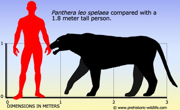 Panthera leo spelaea (cave lion) - recent genetic research shows that it was most closely related to the modern lion and that it formed a single population with the Beringian cave lion. It ranged from Europe to Alaska over the Bering land bridge until the late Pleistocene.