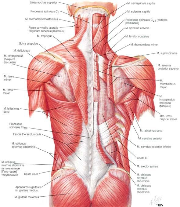 43 Best Human Anatomy Images On Pinterest Human Body Massage And