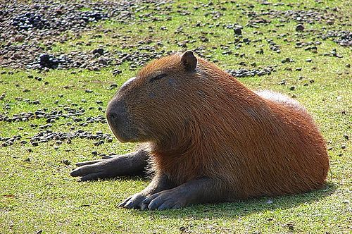 Native to South America, the capybara inhabits savannas and dense forests and lives near bodies of water. It is a highly social species and can be found in groups as large as 100 individuals, but usually lives in groups of 10–20 individuals. The capybara is not a threatened species and is hunted for its meat and hide and also for a grease from its thick fatty skin which is used in the pharmaceutical trade.[2]... Capivara descansando / Resting capybara   by Marcio Cabral de Moura