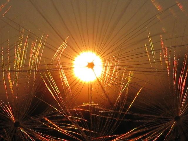 Dandylion Sun