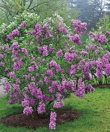 25 best ideas about lilac plant on pinterest lilacs for Spring hill nursery garden designs