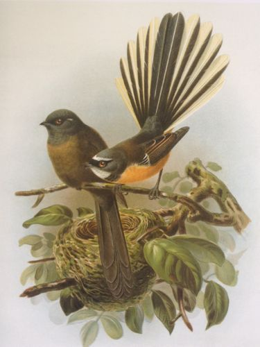 Black and pied fantails (piwakawaka) from Buller's Birds
