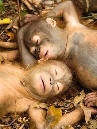 Orphaned baby orangutans rescued