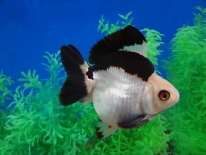 Fancy Fish Tanks 325 best aquarium fish images on pinterest   beautiful fish