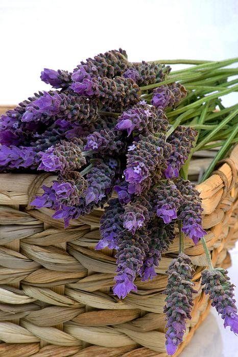 Lavendel blomster trykk av Maria Bedacht