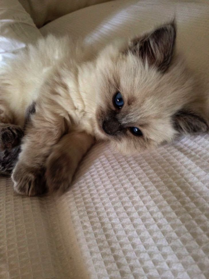 Kitten Meowing Problems Neither Kittens By Week Quite Kittens For