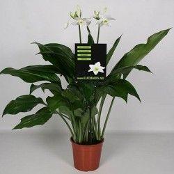 Amazon Lily 60-70 cm