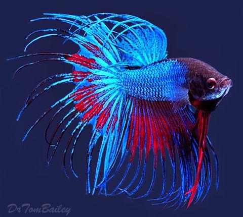 Blue Betta Crowntail